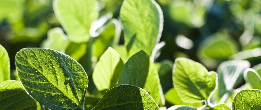 soybean news
