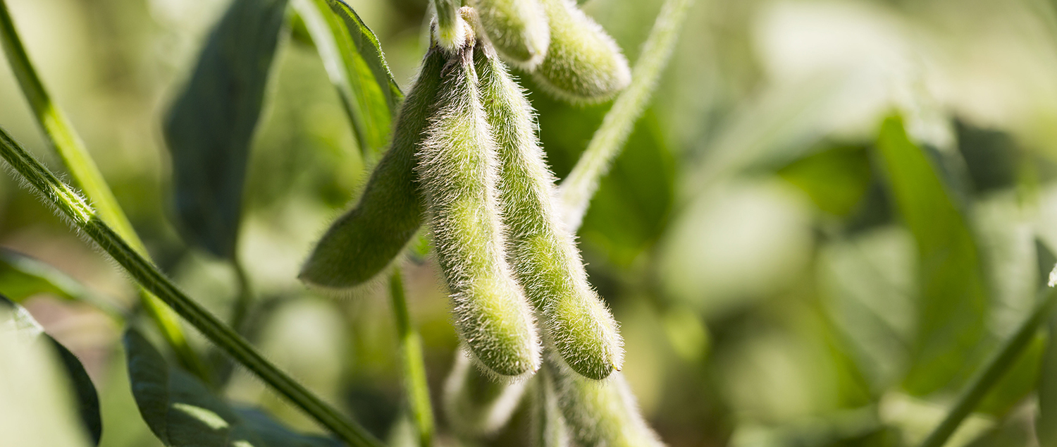 soybean news